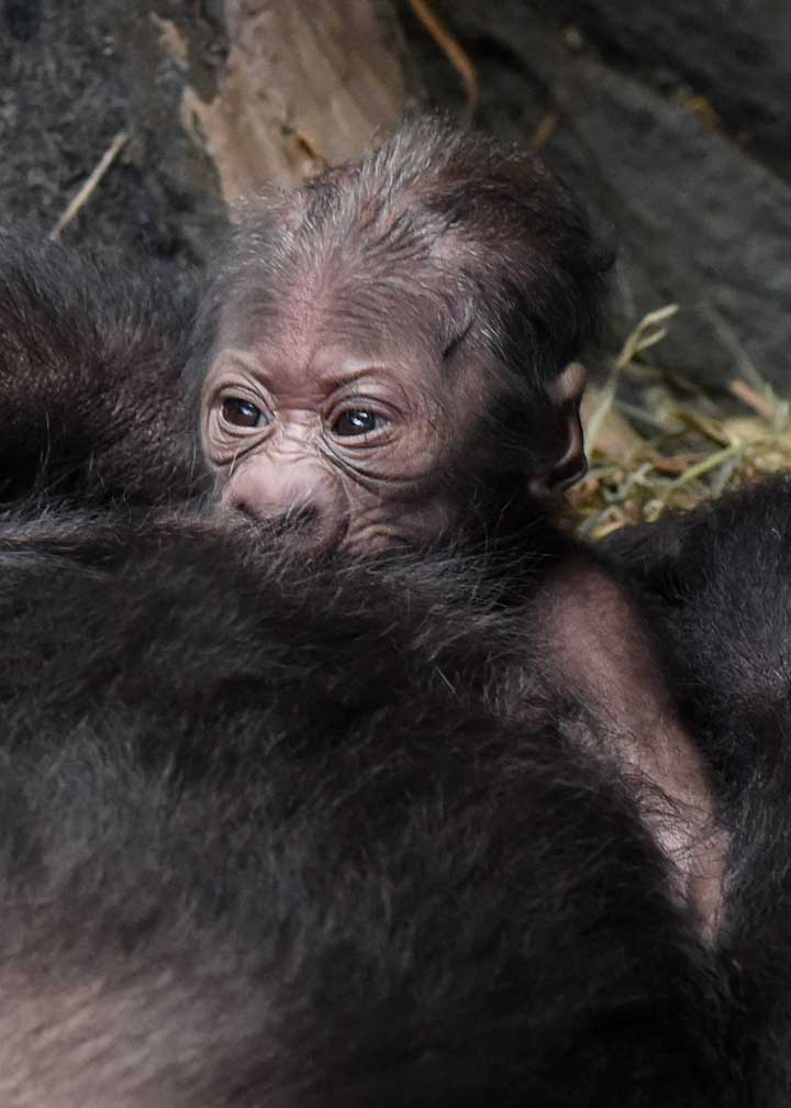 """<div class=""""meta image-caption""""><div class=""""origin-logo origin-image wls""""><span>WLS</span></div><span class=""""caption-text"""">A western lowland gorilla born on September 23 at Brookfield Zoo can be seen in the Tropic World: Africa habitat. (Jim Schulz/Chicago Zoological Society)</span></div>"""