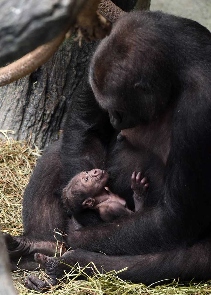 """<div class=""""meta image-caption""""><div class=""""origin-logo origin-image wls""""><span>WLS</span></div><span class=""""caption-text"""">This birth marks four generations of western lowland gorillas currently in the group at Brookfield Zoo. (Jim Schulz/Chicago Zoological Society)</span></div>"""