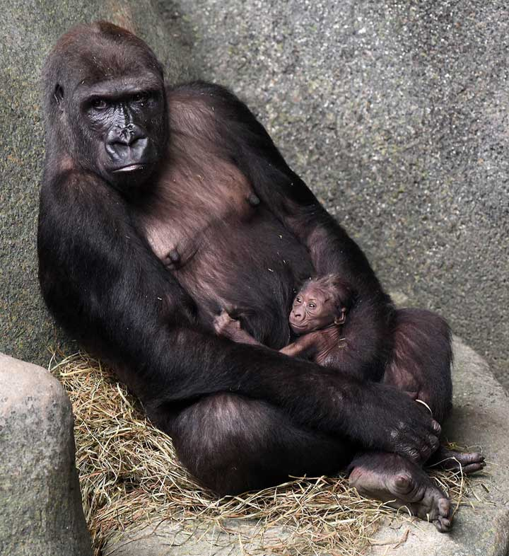 """<div class=""""meta image-caption""""><div class=""""origin-logo origin-image wls""""><span>WLS</span></div><span class=""""caption-text"""">A western lowland gorilla born on September 23 with its 11-year-old mom Kamba, can be seen in Brookfield Zoo's Tropic World: Africa habitat. (Jim Schulz/Chicago Zoological Society)</span></div>"""