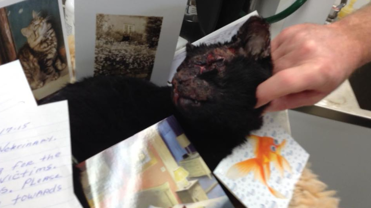 This undated photo shows a cat that was badly burned in the Valley Fire. The cat, named Mr. Burns, is recovering at the Wasson Memorial Veterinary Clinic in Lakeport, Calif.