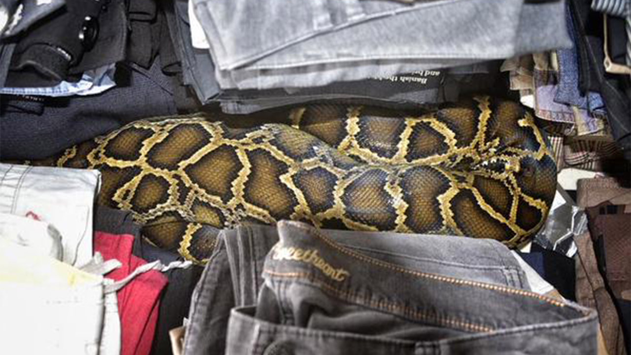 Python in clothes