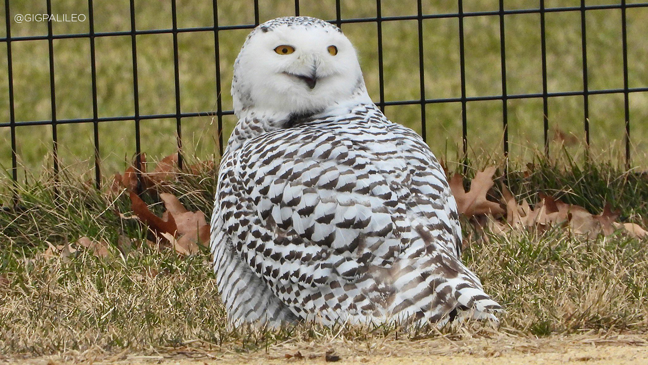 Snowy Owl in Manhattan's Central Park gives visitors once in a lifetime sight