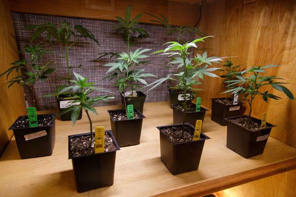 "<div class=""meta image-caption""><div class=""origin-logo origin-image none""><span>none</span></div><span class=""caption-text"">Cannabis clones sit on display at Amazon Organics, a pot dispensary in Eugene, Ore. (AP Photo/ Ryan Kang)</span></div>"