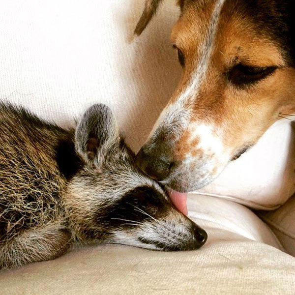 "<div class=""meta image-caption""><div class=""origin-logo origin-image none""><span>none</span></div><span class=""caption-text"">An adopted pet raccoon, rescued from a fall at birth, is enjoying life from the perspective of both man and man's best friend. (Laura Young / @ThisIsPumpkin)</span></div>"