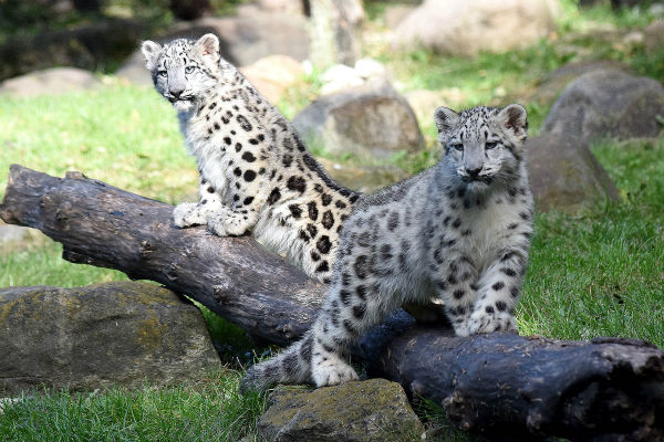 """<div class=""""meta image-caption""""><div class=""""origin-logo origin-image none""""><span>none</span></div><span class=""""caption-text"""">A 4-month-old snow leopard cub made her public debut at Brookfield Zoo. (Jim Schulz/Chicago Zoological Society)</span></div>"""