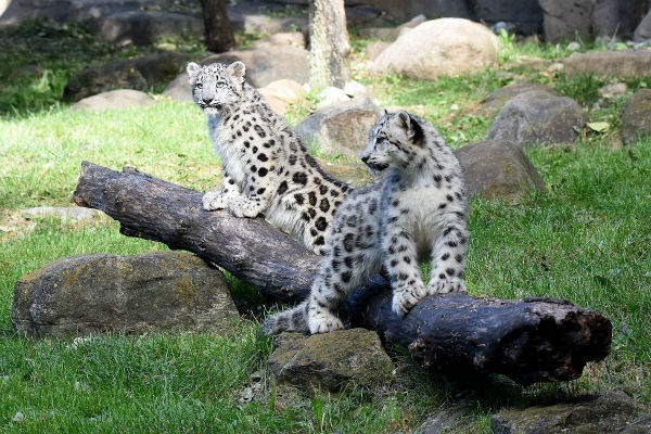 """<div class=""""meta image-caption""""><div class=""""origin-logo origin-image none""""><span>none</span></div><span class=""""caption-text"""">Two 4-month-old snow leopard cubs made their public debut October 7 at Brookfield Zoo. (Jim Schulz/Chicago Zoological Society)</span></div>"""