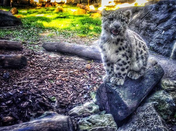 "<div class=""meta image-caption""><div class=""origin-logo origin-image none""><span>none</span></div><span class=""caption-text"">Snow leopard cubs at the Brookfield Zoo.</span></div>"