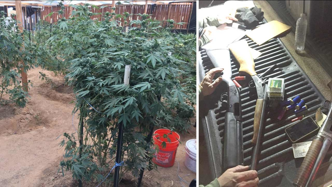 Photos released by the San Bernardino Sheriff's Department show several marijuana plants and firearms found in El Mirage Thursday, Oct. 8, 2015.