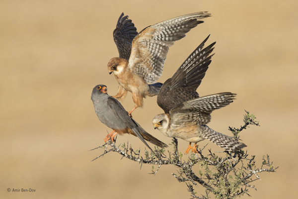 """<div class=""""meta image-caption""""><div class=""""origin-logo origin-image none""""><span>none</span></div><span class=""""caption-text"""">Amir Ben-Dov of Israel won the Birds category with this photo, ''Company of Three,'' featuring red-footed falcons. (Amir Ben-Dov)</span></div>"""