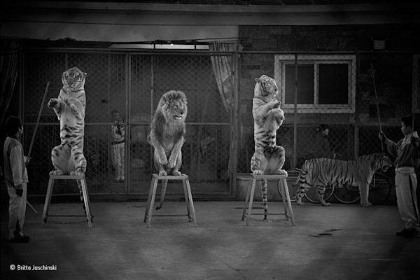 "<div class=""meta image-caption""><div class=""origin-logo origin-image none""><span>none</span></div><span class=""caption-text"">Britta Jaschinski of Germany and the UK won ""The Wildlife Photojournalist Award: Single Image"" category for ''Broken cats,'' showing performance animals in China. (Britta Jaschinski)</span></div>"