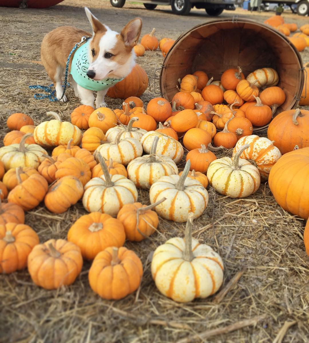 "<div class=""meta image-caption""><div class=""origin-logo origin-image none""><span>none</span></div><span class=""caption-text"">Here's a look at a corgi named Avicii enjoying a fine afternoon at a Bay Area pumpkin patch. Share your photos by tagging them on Instagram, Twitter, or Facebook with #SpookyOn7! (Photo submitted to KGO-TV by @aviciithecorgi/Instagram)</span></div>"