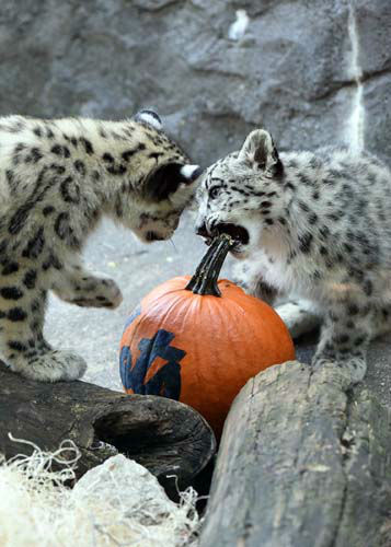 "<div class=""meta image-caption""><div class=""origin-logo origin-image none""><span>none</span></div><span class=""caption-text"">There was no messing around at the Brookfield Zoo. The cubs devoured the Mets. Or at least the pumpkins decorated with the team's logo. (WLS Photo/ Jim Schulz/Chicago Zoological Society)</span></div>"