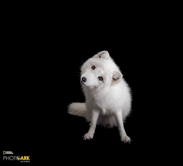 Image of: Geographic Society An Arctic Fox Is Photographed For National Geographic Magazine At The Great Bend Brit Spaugh Zoo In Great Bend Kan Abc13 Houston National Geographic Magazine Examines Which Species Are Thriving