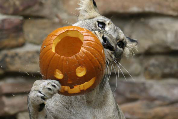 "<div class=""meta image-caption""><div class=""origin-logo origin-image none""><span>none</span></div><span class=""caption-text"">Lions enjoy meat-filled jack o'lanterns during the Fort Worth Zoo's 24th annual Halloween celebration ""Boo at the Zoo."" (AP Photo/ LM Otero)</span></div>"