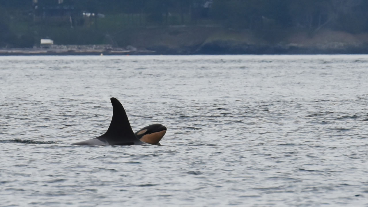 Newborn orca calf J53 is seen with it's mother J17 off San Juan Island, Wash., on Saturday, Oct. 24, 2015.