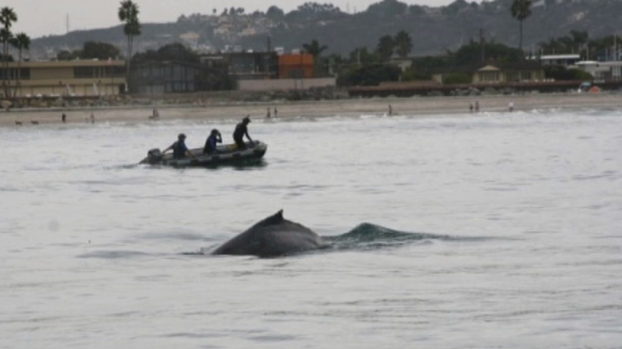 Crews worked to rescue a humpback whale tangled in lobster traps off the coast of La Jolla in San Diego on Sunday, Oct. 25, 2015.