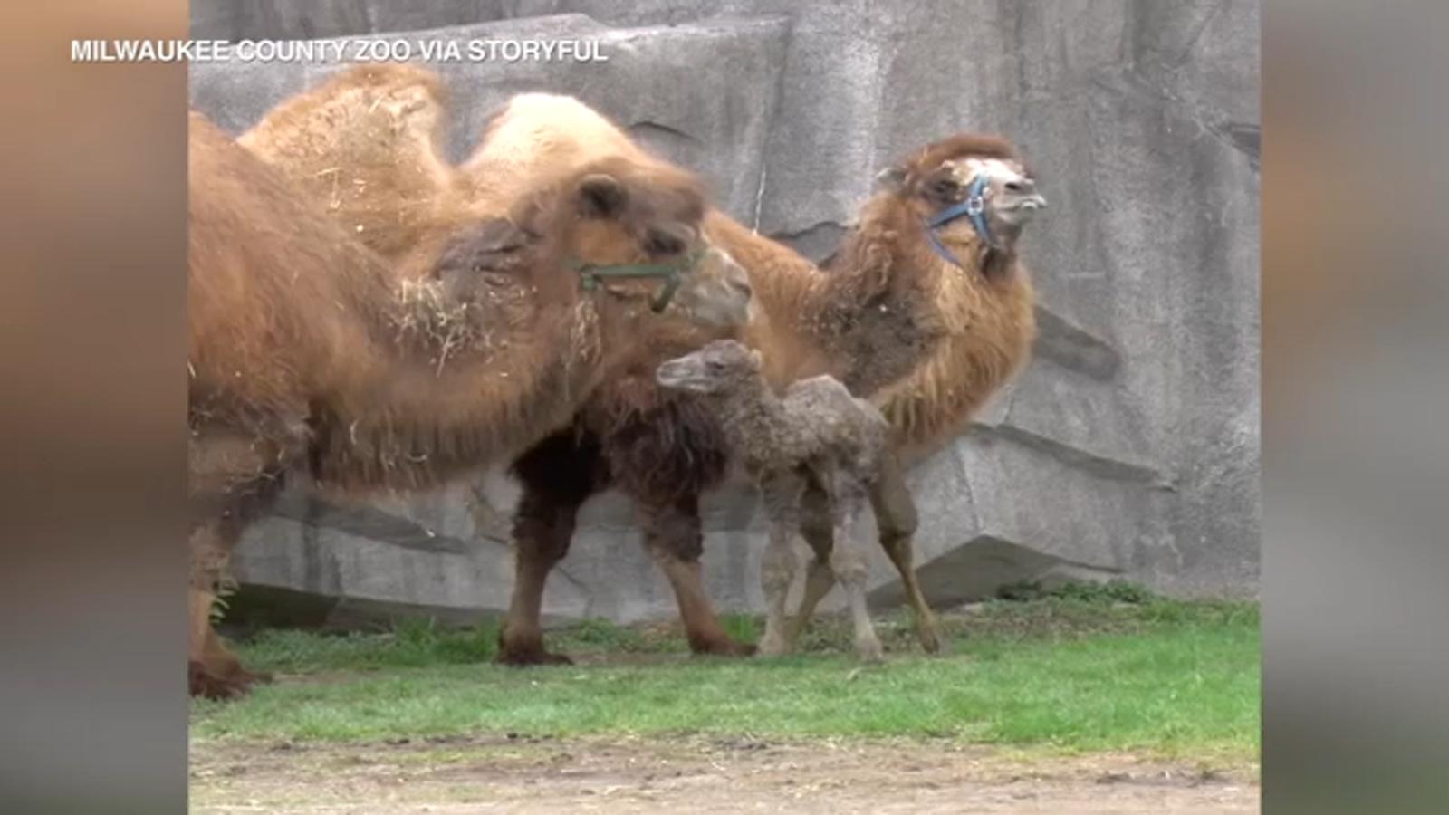 Newborn camel explores habitat with parents at Milwaukee Zoo
