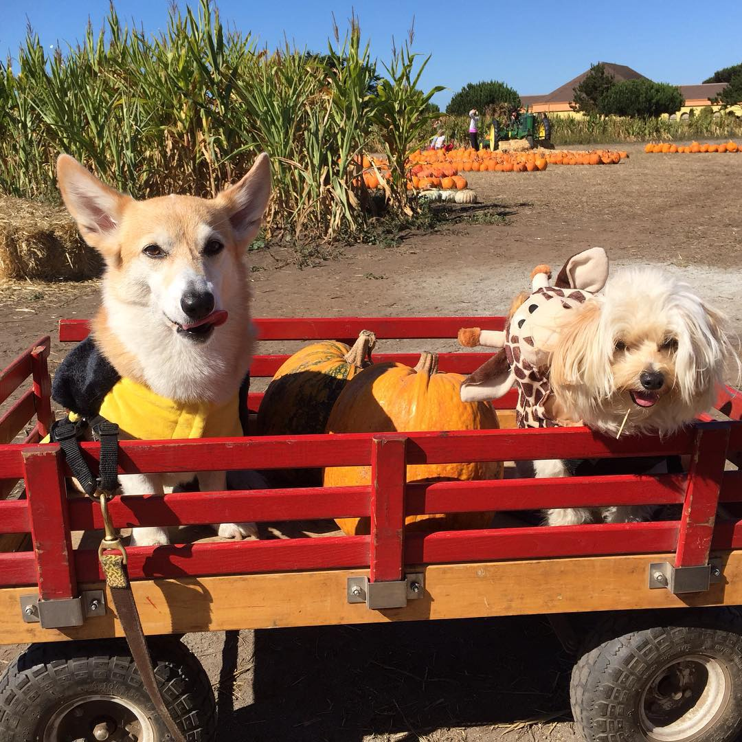 "<div class=""meta image-caption""><div class=""origin-logo origin-image none""><span>none</span></div><span class=""caption-text"">These corgis look so cute in their wagon at the pumpkin patch! Share your photos by tagging them on social media with #SpookyOn7! (Photo submitted to KGO-TV by corgikikko_hunter/Instagram)</span></div>"