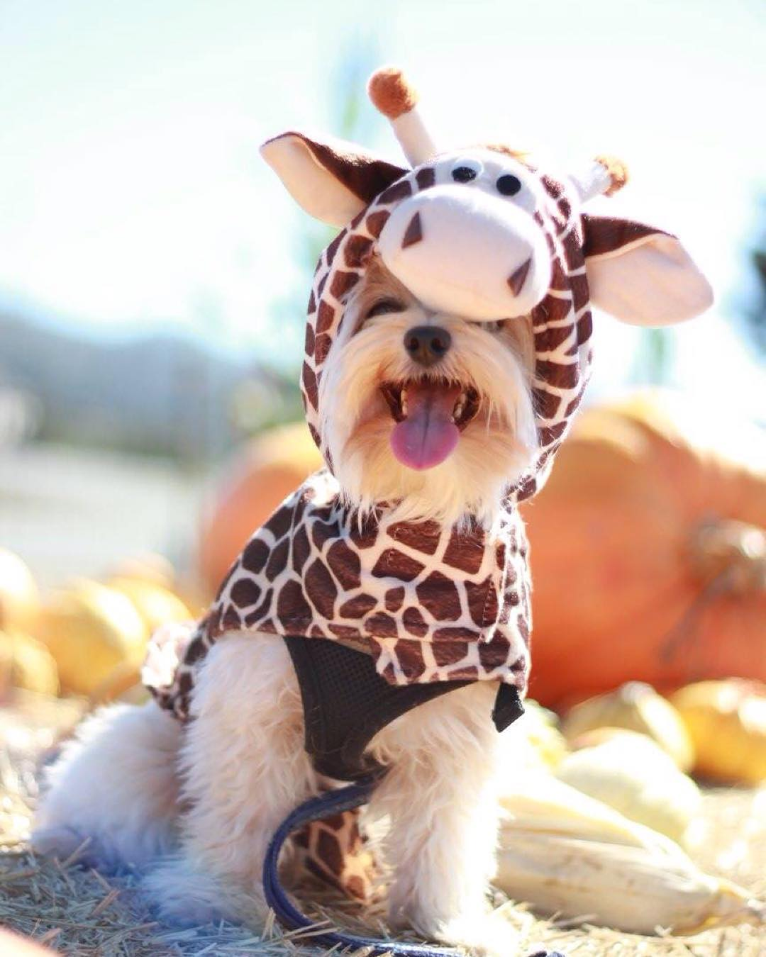 "<div class=""meta image-caption""><div class=""origin-logo origin-image none""><span>none</span></div><span class=""caption-text"">This is the cutest corgi in a giraffe costume that we've ever seen! Share your photos by tagging them on social media with #SpookyOn7! (Photo submitted to KGO-TV by corgikikko_hunter/Instagram)</span></div>"