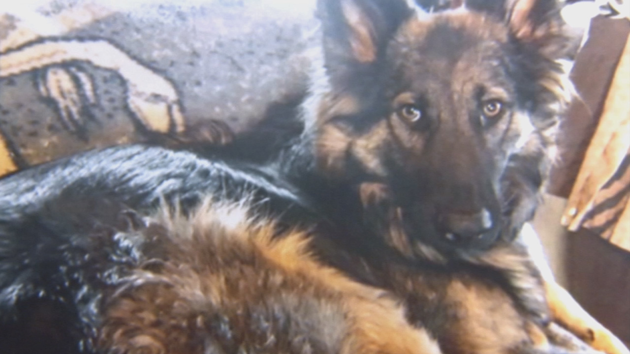 A German Shepherd, which authorities believe died of antifreeze poisoning in Sugarloaf, is seen in this undated photo.