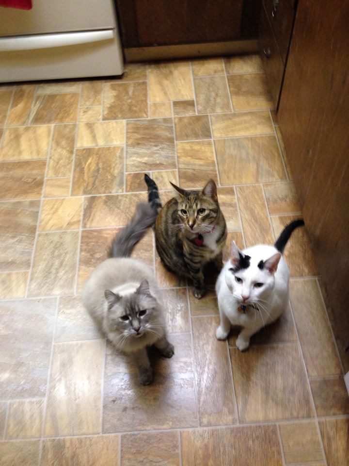 """<div class=""""meta image-caption""""><div class=""""origin-logo origin-image none""""><span>none</span></div><span class=""""caption-text"""">Meet Skyler, Lucy, and Gizmo! ABC7 viewers are sharing photos of their favorite feline friends on National Cat Day. (Photo submitted to KGO-TV by Kristine-McAllister/Facebook)</span></div>"""