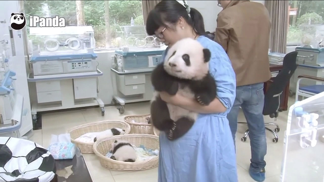 FILE - A woman taking care of a panda baby at at China's Giant Panda Protection and Research Center is seen in this undated image.