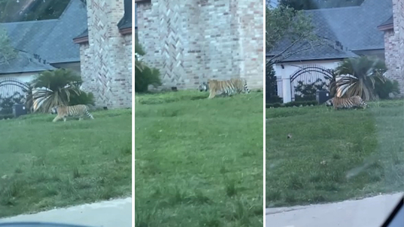 Tiger found in Houston roaming neighborhood in Highway 6 and Memorial area - ABC7 Chicago