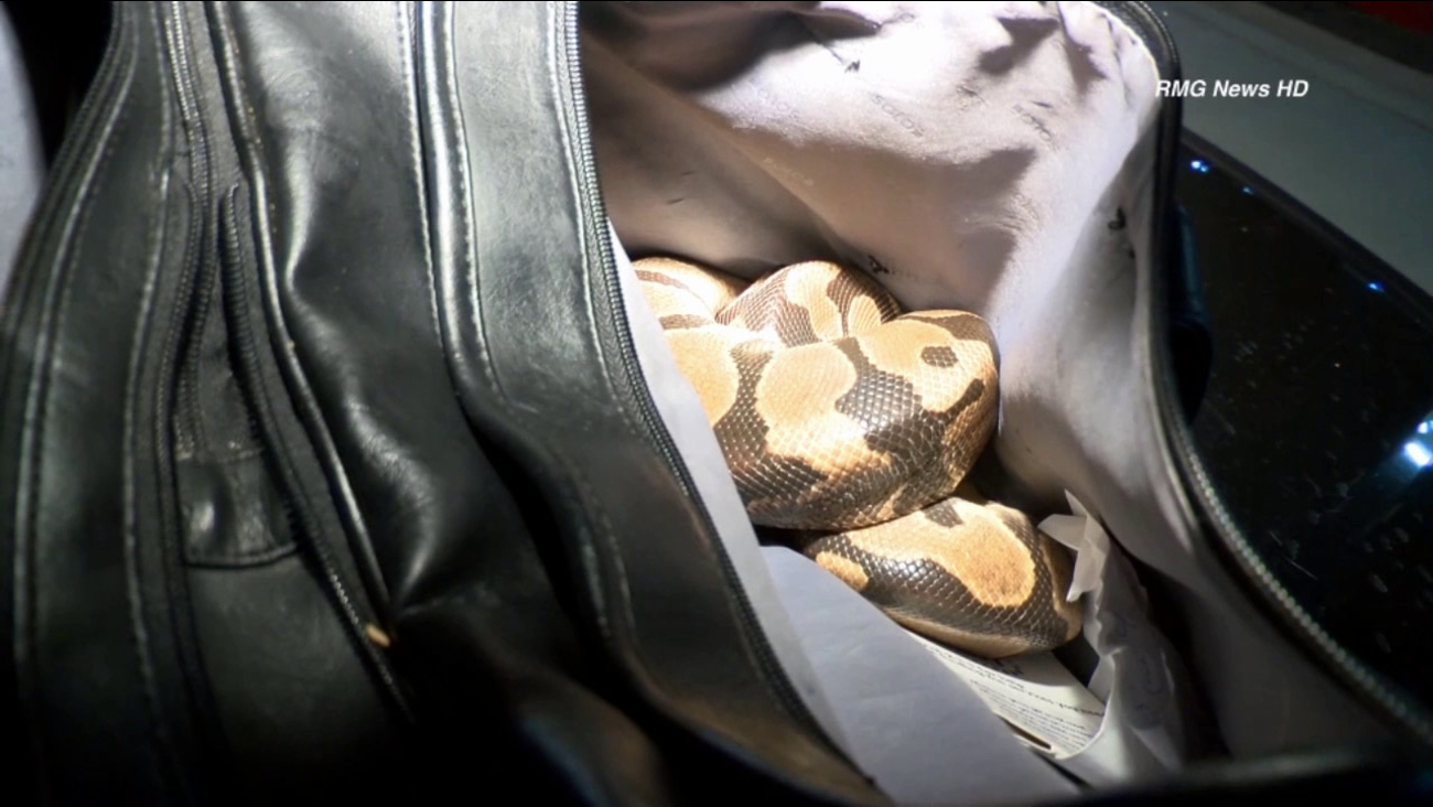 A snake was found inside a man's bag after he was knocked off his bike by a car in the Harbor Gateway area on Monday, June 10, 2014.