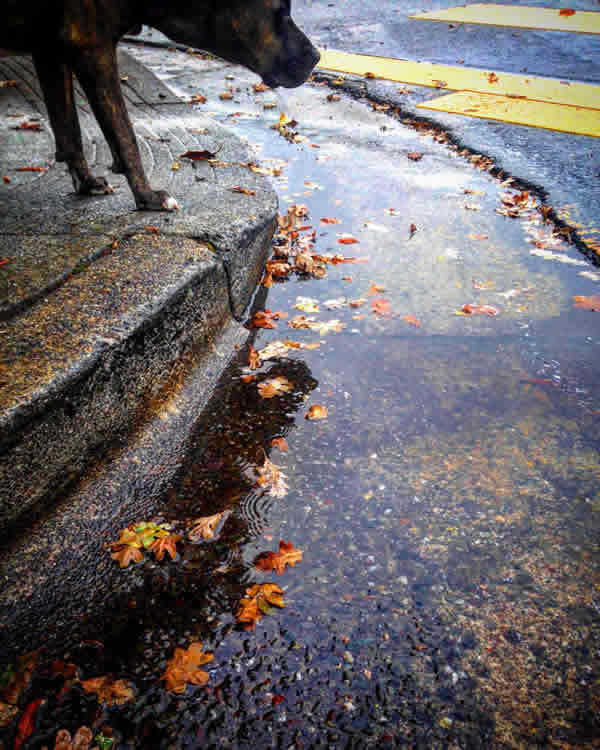 "<div class=""meta image-caption""><div class=""origin-logo origin-image none""><span>none</span></div><span class=""caption-text"">In this image, a dog is seen looking at a puddle left behind by a storm that rolled through the Bay Area on Monday, November 2, 2015. (Photo submitted to KGO-TV by @sonomavalleygal/Instagram)</span></div>"