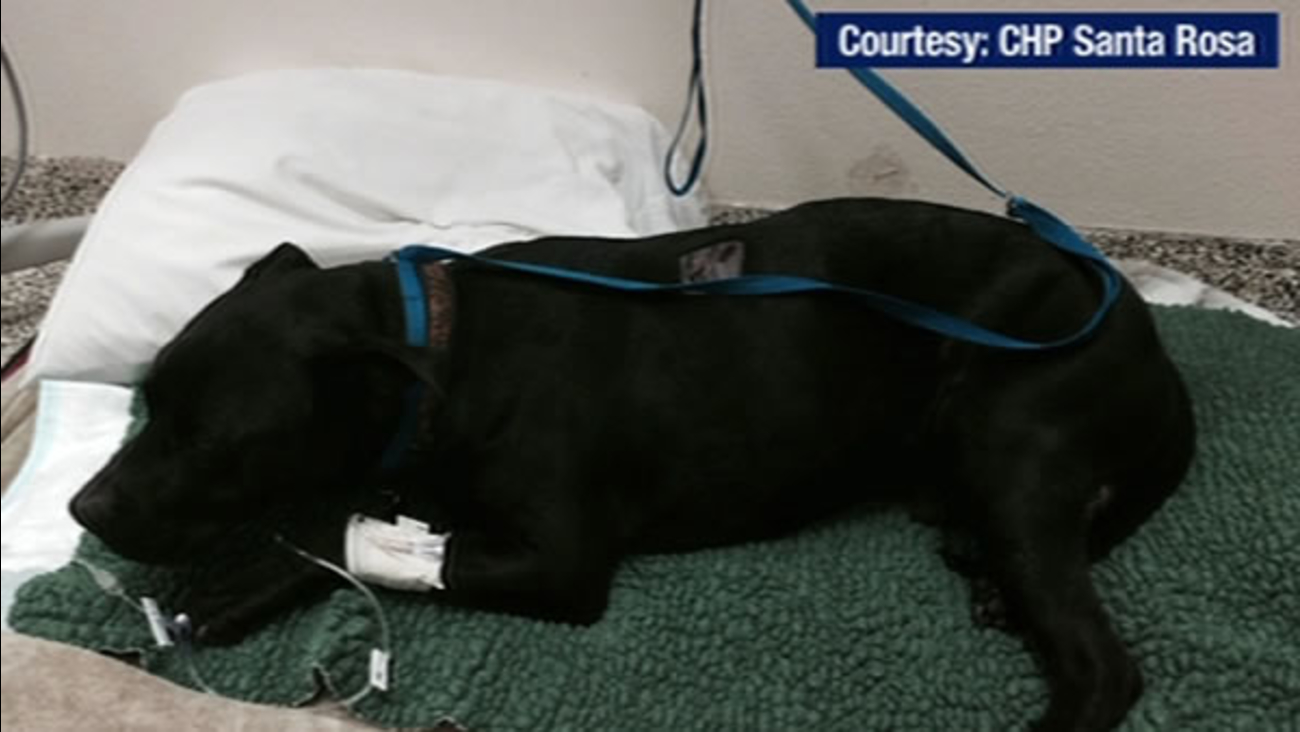 Mr. Man is recovering at an animal hospital in Rohnert Park, Calif. on Tuesday, November 3, 2015.