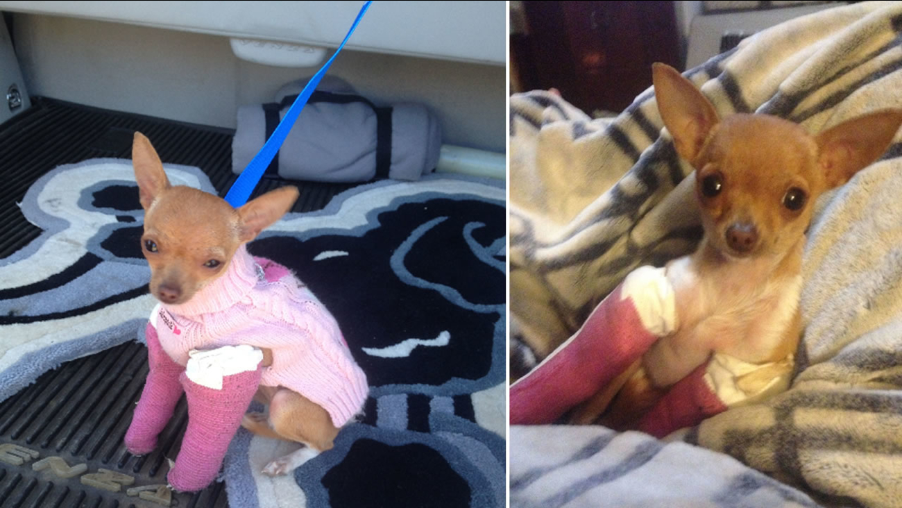 This undated photo shows injured Chihuahua that was found in a dumpster in Santa Rosa, Calif. on Oct. 29, 2105 recovering at Sonoma County Animal Services.