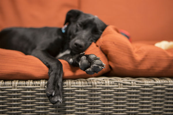"<div class=""meta image-caption""><div class=""origin-logo origin-image none""><span>none</span></div><span class=""caption-text"">Chicago's Shedd Aquarium has welcomed its newest rescue dog, a 10-month-old dachshund/terrier mix named Peach. (Photo/Brenna Hernandez)</span></div>"