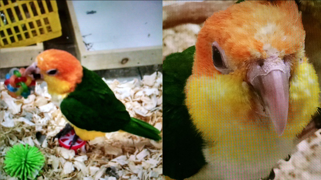 A baby Apricot Headed Caique parrot stolen from Omar's Exotic Birds in Lake Forest on Wednesday, Nov. 4, 2015.