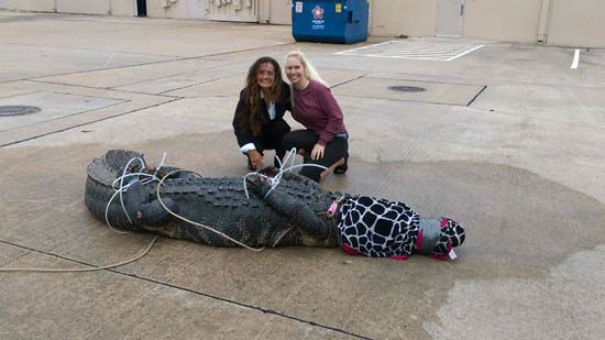 Video Huge Gator Captured Outside Sugar Land Shopping Center
