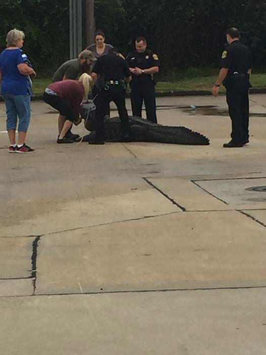 <div class='meta'><div class='origin-logo' data-origin='none'></div><span class='caption-text' data-credit='KTRK Photo/ KTRK'>A huge alligator was discovered and captured in a parking lot in Sugar Land.</span></div>