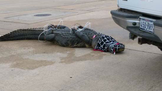 <div class='meta'><div class='origin-logo' data-origin='none'></div><span class='caption-text' data-credit='Beatrice Valdez-House'>A huge alligator was discovered and captured in a parking lot in Sugar Land.</span></div>