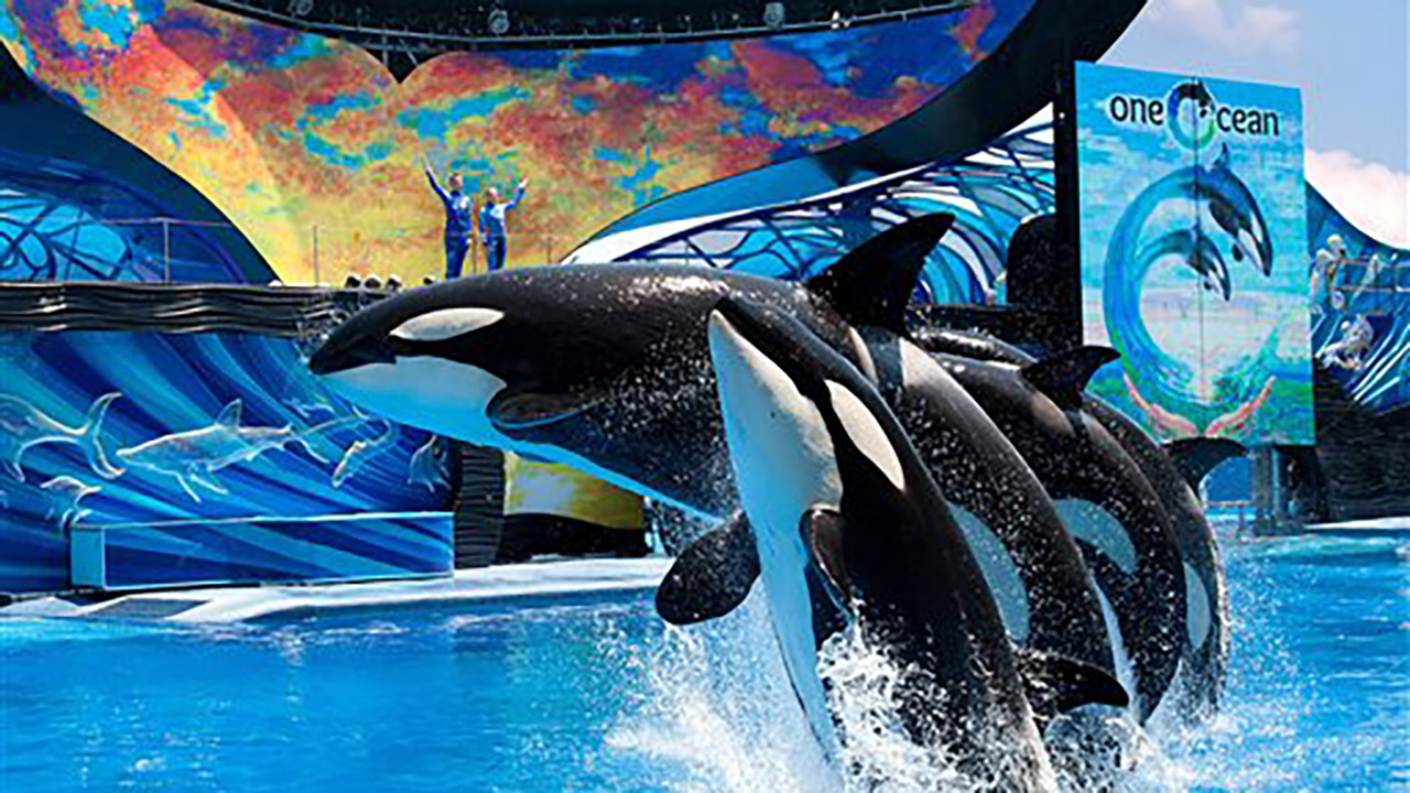 Orcas during a show at SeaWorld