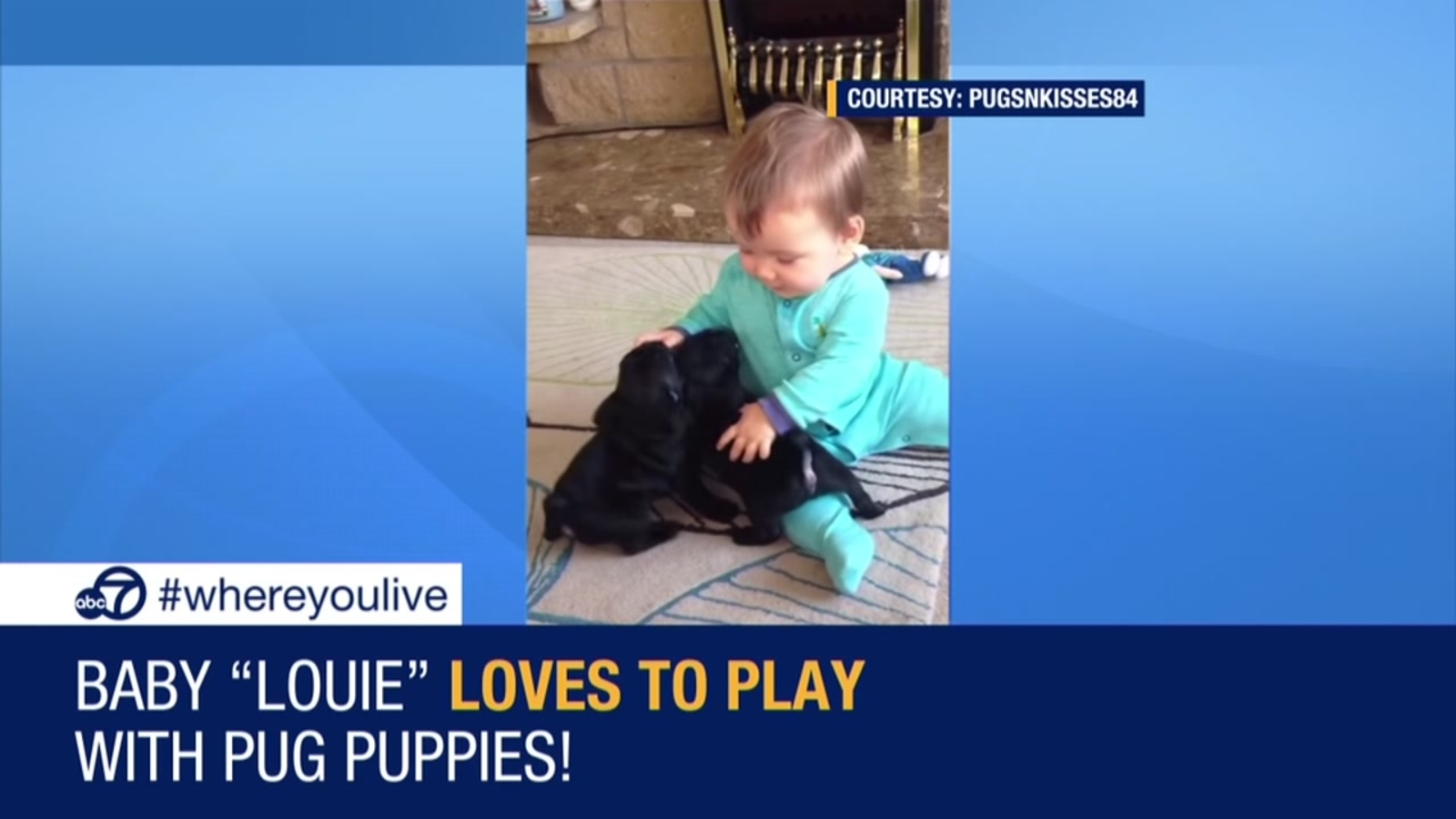 Know & Tell: Baby loves playing with pug puppies
