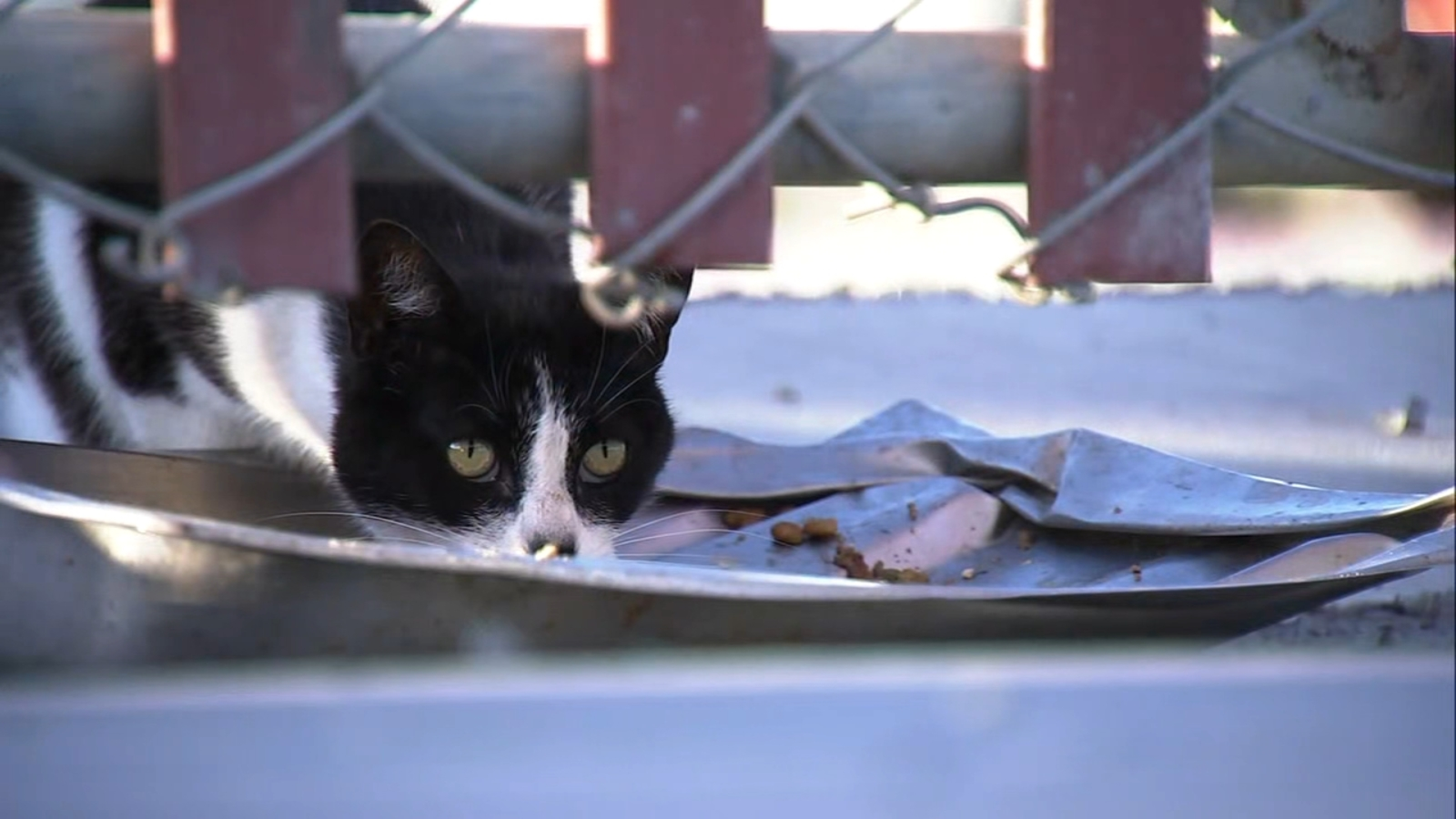 'It's a mystery': Feral cats in SF colony turn up with unexplained severed legs