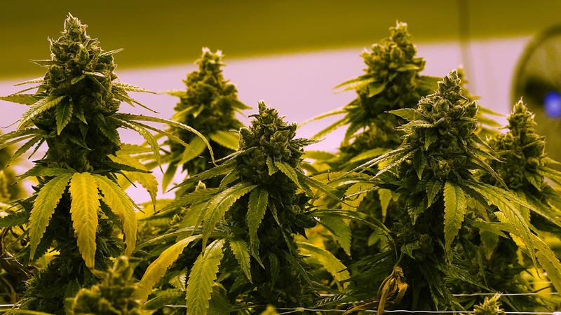 Senate marijuana draft bill: Chuck Schumer, Democrats unveil proposal to  end federal prohibition on pot - ABC7 Chicago