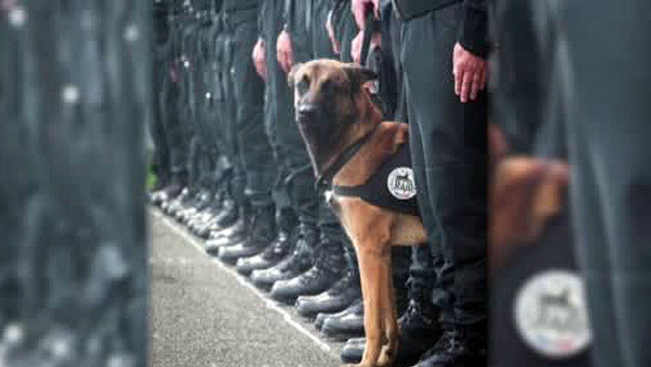 A 7-year-old Belgian Malinois named Diesel, a SWAT team assault dog, was 'killed by terrorists' during the raid in Saint-Denis, north of Paris, on Wednesday, Nov. 18, 2015.