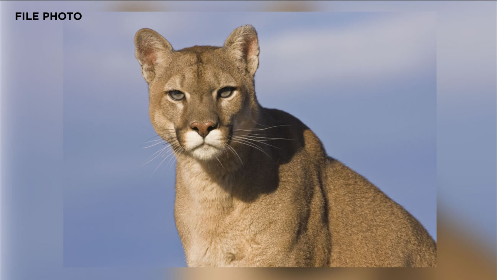 Mountain lion likely killed Fairfield resident's animals, sheriff's officials say