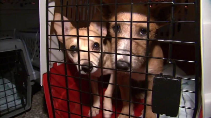 Puppies arrive on Long Island after cross-country flight