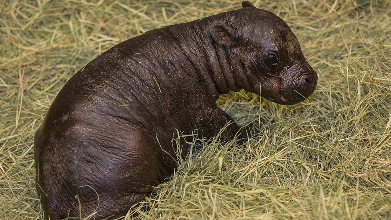 A pygmy hippo calf is shown in an undated photo.