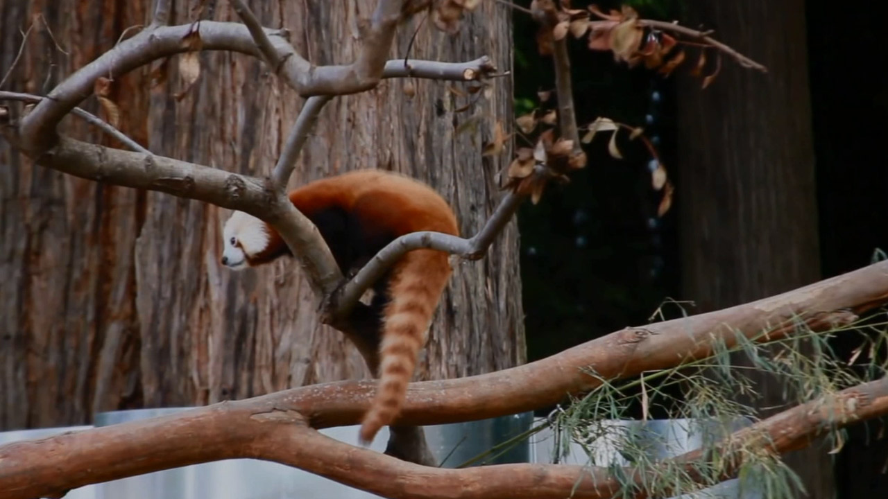 A red panda at the Sequoia Park Zoo is shown in an undated photo.