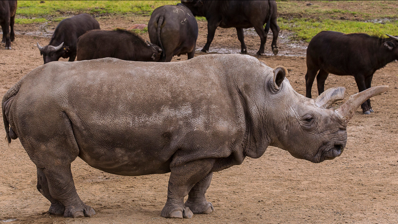 Nola, an endangered northern white rhino, is shown in a photo taken at the San Diego Zoo on Jan. 8, 2015.