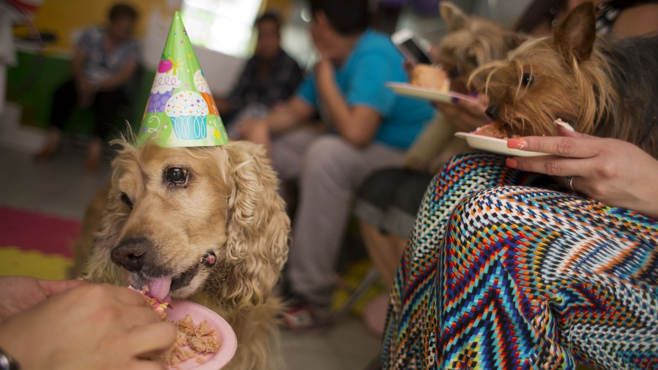 In this Sunday, April 6, 2014 photo, 12-year-old Honey, left, and other guests eat dog friendly birthday cake at a party for one-year-old dachshund Camila in Mexico City, Mexico.