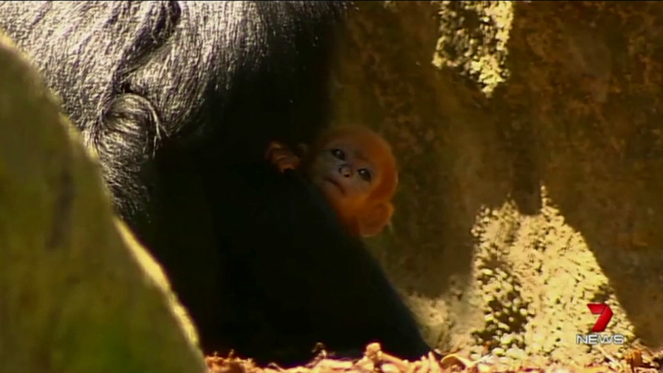 A baby Francois' Langur monkey is shown holding his mother at an Australian zoo.