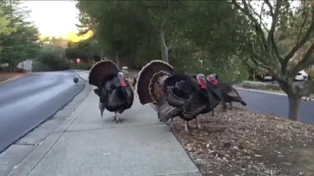 A gang of turkeys strolled the community of Rossmoor in Walnut Creek, Calif. on Thursday, November 24, 2015.