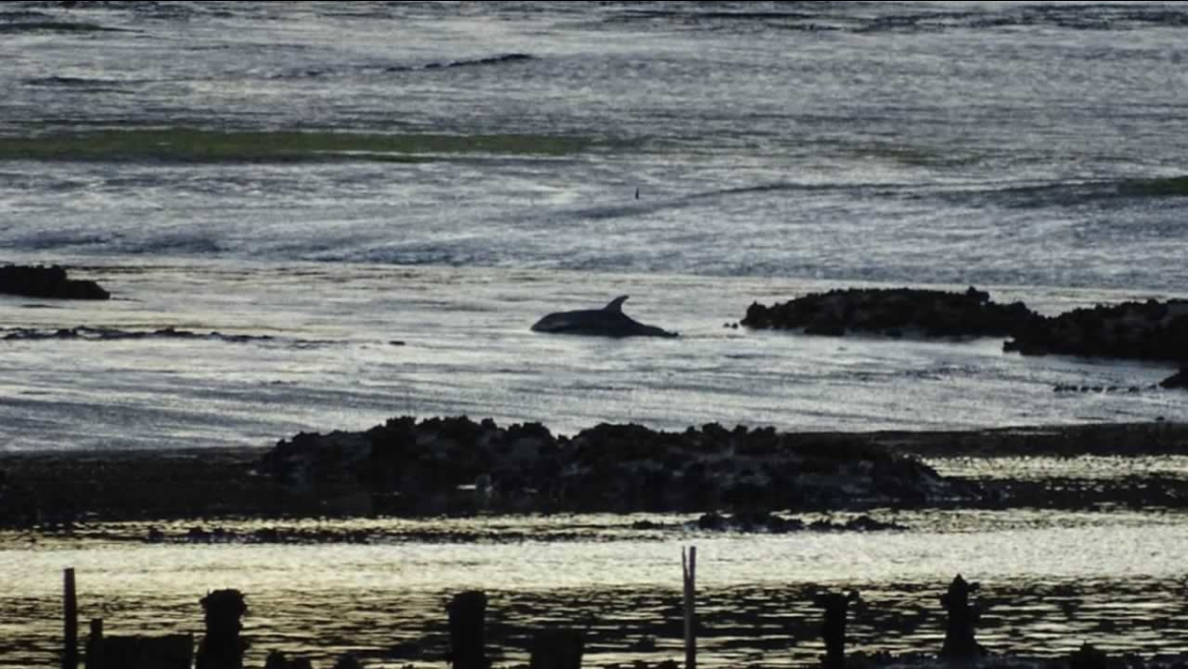 A rescue team was dispatched to the Elkhorn Slough in Monterey County help this stranded dolphin on Saturday, November 28, 2015.